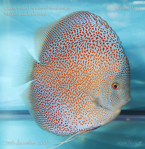 Discus fish for sale singapore discus fish for sale by for Live discus fish for sale