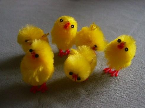 Look, it's chicks!