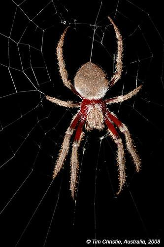 Garden Orb Spider macro