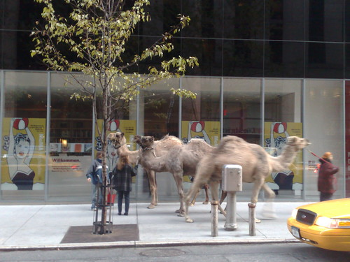 Camels in NYC
