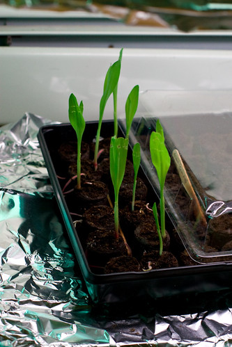 Giant corn sprouts