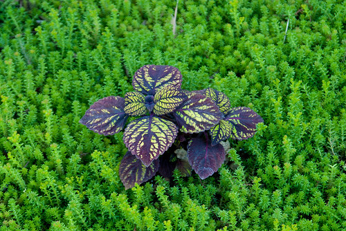 Purple plant and green