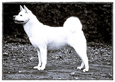akita inu best family dog