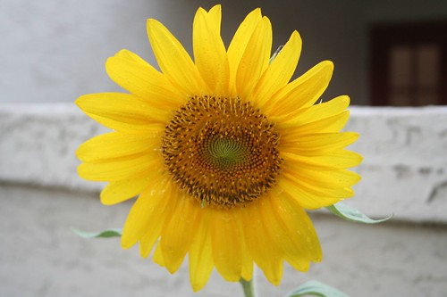 Pretty sunflower