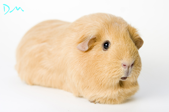 guinea pig photo shoot 17