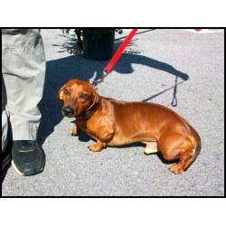 Small Crop Of Fat Weiner Dog