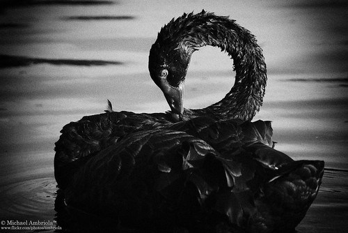Ibirapuera 9 Black Swan