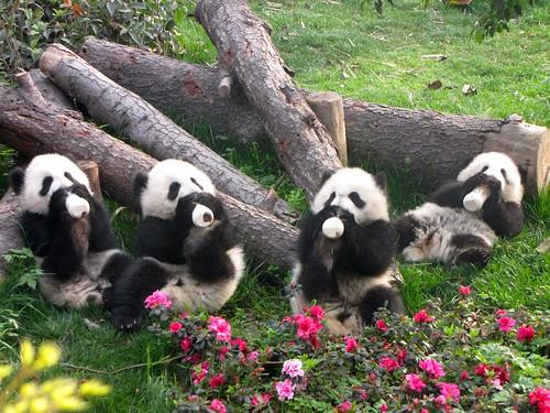 Panda Chengdu 2010