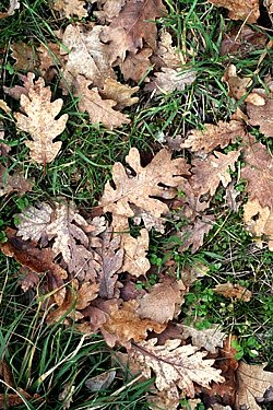 oak leaves hiding truffles x