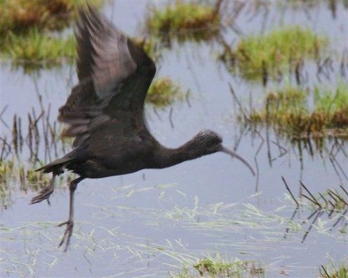 "Glossy Ibis, Tregony, 19.01.14 (J.Eames) • <a style=""font-size:0.8em;"" href=""http://www.flickr.com/photos/30837261@N07/12116877624/"" target=""_blank"">View on Flickr</a>"