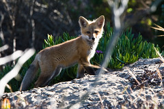 1 of 5 Red Fox Pup(s) Morro Bay, CA 26 May 2008