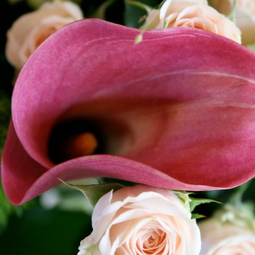 arum lily between roses