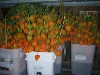 橙色的中国灯笼