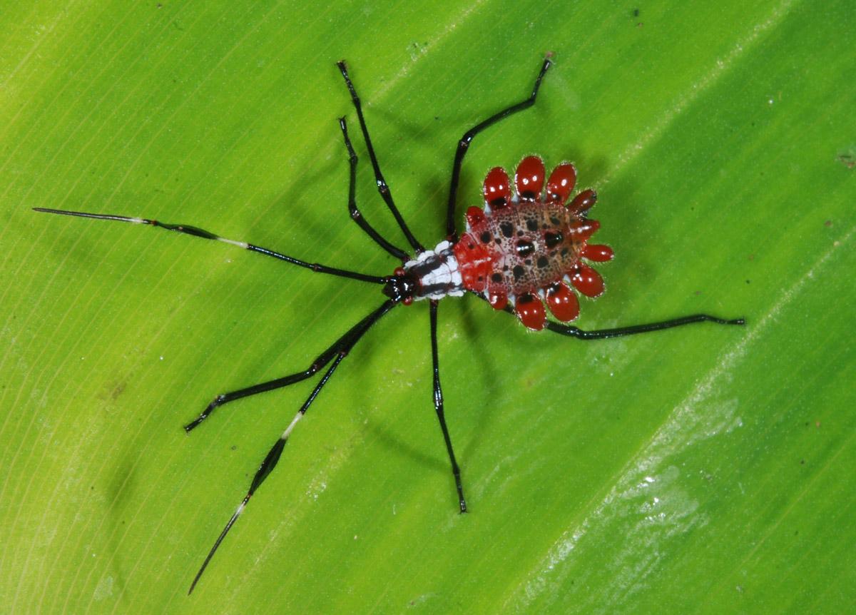 Fabulous Gaudy Bug Nymph Gaudy Bug Nymph A Photo On Flickriver Leaf Footed Bug Nymph Eggs Leaf Footed Bug Nymph Red houzz-03 Leaf Footed Bug Nymph