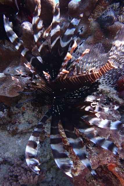 Lion fish hiding behind a rock to avoid the strong current