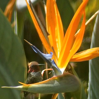 Weekly Photo 27/52 for 2013: Hummingbird & Bird of Paradise by Kristen Koster on Flickr
