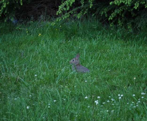 little wild rabbit in the grass at dusk