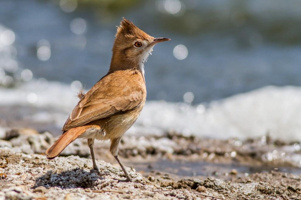 El hornerito copetón (Furnarius cristatus) es una especie de ave paseriforme de la familia Furnariidae que vive en Argentina, Bolivia y Paraguay. (Oscar Bordón)
