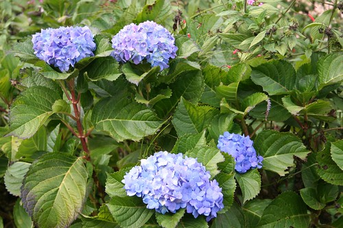 Hydrangeas as far as the eye can see -- my fave!