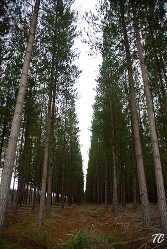 Plantation Pine