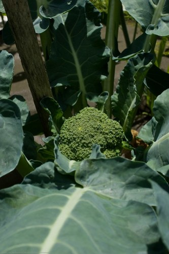 Humble Garden: Broccoli head starting to grow