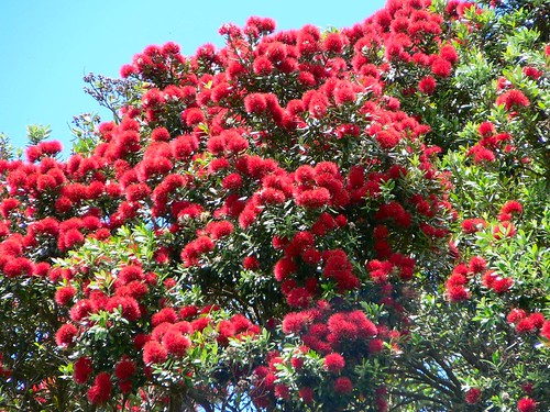 Pohutukawa - the New Zealand Christmas tree