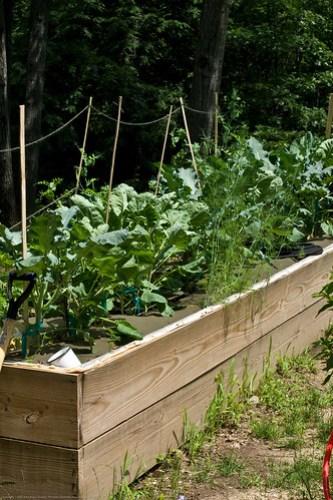 Humble Garden: Broccoli and peas