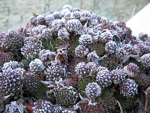 Frost on Hens and Chicks