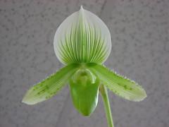 Jeffrey's Orchid