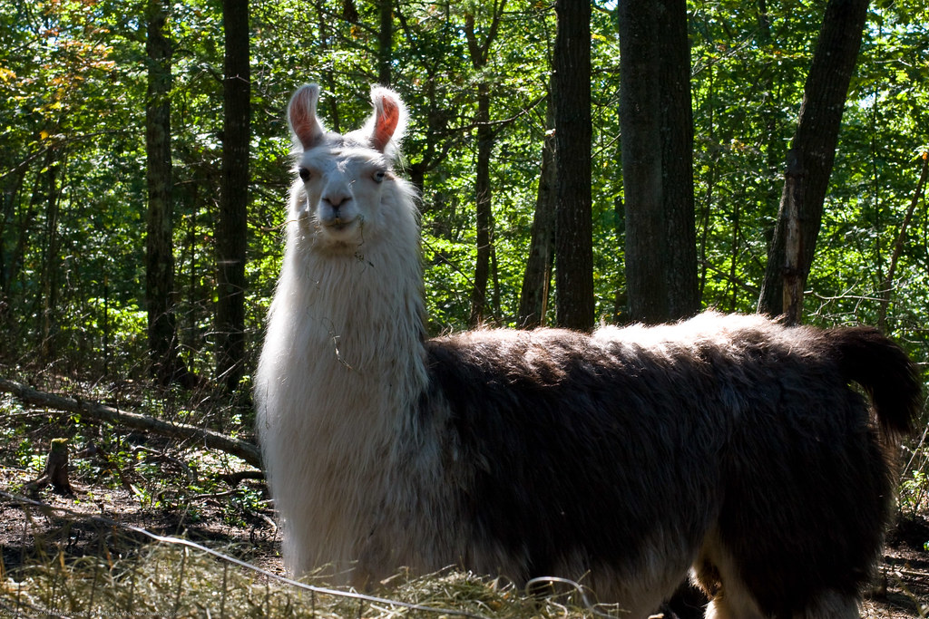 Humble Garden: misty the llama in the fall sun