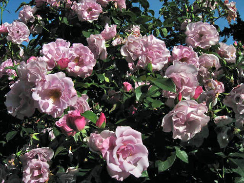 This floribunda is named Blueberry Hill. I love that name!