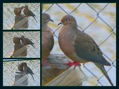 Dove Loving.
