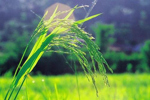 ricestalks