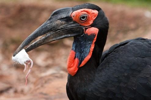 ground-hornbill