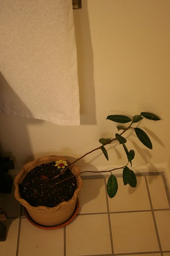 my life-long rubber plant