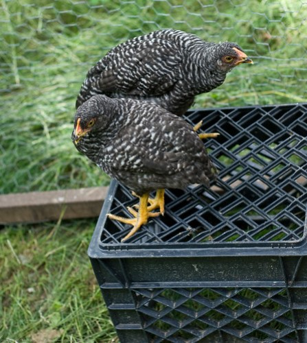 Pastured Chickens: Barred Rock young pullets