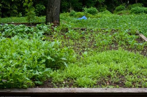 Humble Garden 2009: mesclun, chamomile, kale, bok choy