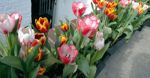 Springtime in Harvard Square