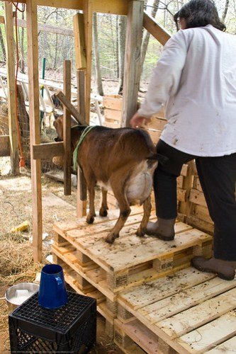 Humble Garden 2009: How to milk a goat