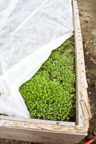 Humble Garden 2009: mesclun lettuce