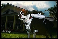 Boston Terriers ringbearers RULE!