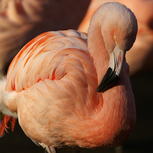 Pink Flamingo - Woodland Park Zoo Impressions by anadelmann.