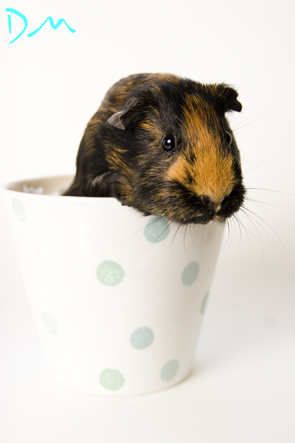 guinea pig photo shoot 22