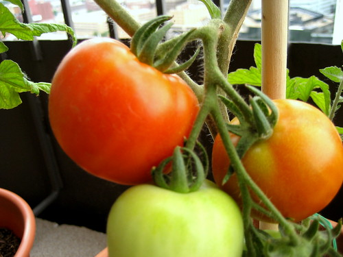 early girl tomato, june 23