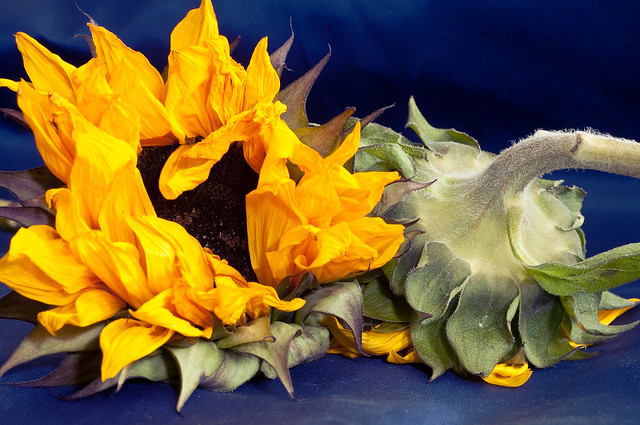 212/365: Two Cut Sunflowers