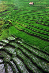 """Rice Terrace 