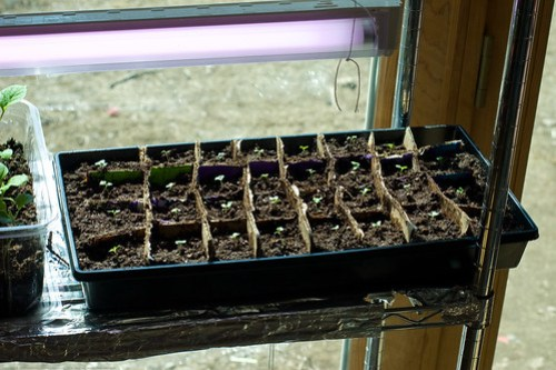 Humble Garden: DIY flat dividers - cabbage starts
