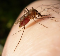 Mosquito bloodfed