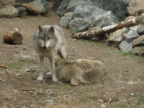 aidan the wolf
