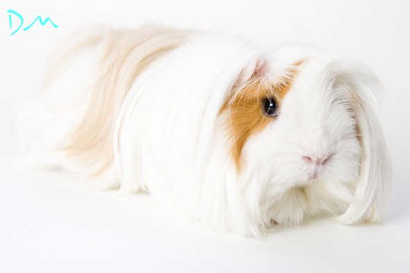 guinea pig photo shoot 10